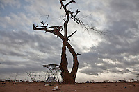 The hacked limbs of this desert  tree have been used by refugees to construct temporary shelters in Dadaab refugee camp in northern Kenya. The camp is overwhelmed by the thousands of new arrivals and is struggling to cope with demands for shelter and food.