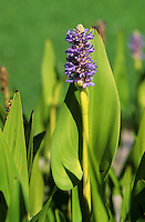 Herzförmiges Hechtkraut, Pontederia cordata, Pickerel Weed, Pickerelweed