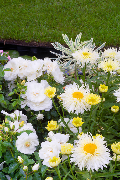 Rosa Flower Carpet White= Noaschnee AGM groundcover + Leucanthemum 'Gold Rush' = L. x superbum 'Goldrausch' + Euphorbia, white and yellow color planting theme combination