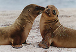 Galapagos sea lion pups, Galapagos Islands