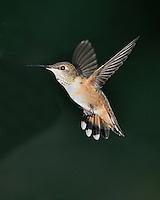 Rufous Hummingbird from Southeaster Arizona