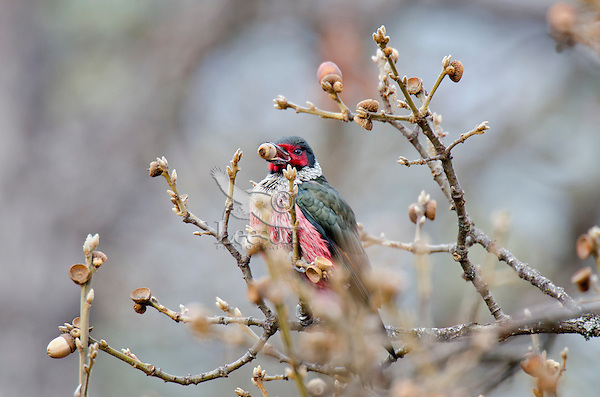 Lewis's Woodpecker (Melanerpes lewis) harvesting acorn near the top of 60 foot oak tree.  Pacific Northwest.  March.