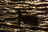 Sunlight glimmers and sparkles on the rippling water and reveals the outline, the silhouette, of a duck floating by.