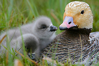 Newly hatched Emperor Goose (Chen canagica) chicks with their mother at the nest. Yukon Delta, Alaska. June.