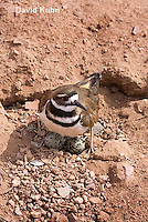 0510-1102  Killdeer, Adult Cooling Eggs in Hot Summer Sun by Shading the Eggs, Charadrius vociferus  © David Kuhn/Dwight Kuhn Photography