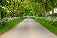 Country road in early summer - Lincolnshire, June