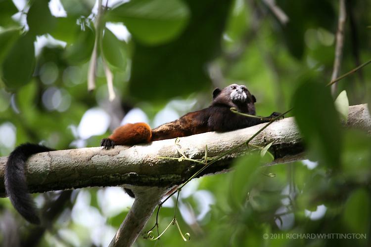 A Saddleback Tamarin monkey climbs a tree in the Manu Wildlife Center in Amazonia.