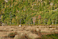 Marsh grass and trees of Dorr Mountain, Acadia, Maine, ME, USA