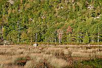 Marsh grass and trees of Dorr Mountain, Acadia, Maine, ME, USA