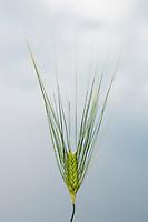 Winter wheat begins to ripen in a field.