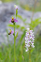 Bee Orchid {Ophyris apifera} and Common Spotted Orchid (Dactylorhiza fuchsii} growing in close proximity. Peak District National Park, Derbyshire, UK. June.