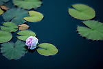 Pond and Lily Pads