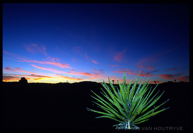 A yukka plant is seen against the twilight sky in Joshua Tree National Park in California in January 2001.<br />