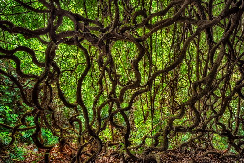 Vines of St. Thomas bean plant. Mcbride Gardens, Kauai, Hawaii
