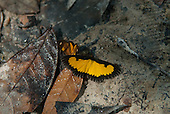 Aldeia Baú, Para State, Brazil. Black and yellow butterfly.