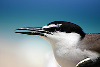 Bridled Tern on Michaelmas Cay off Cairns, North Queensland