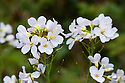 Cuckooflower (Cardamine pratensis), mid May. It takes its name from the fact that it is usually in flower at about the same time as cuckoos can be heard. Also known as Lady's-smock or Milkmaids.