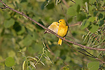 Yellow warbler (Dendroica petechia) preening.  Summer. Winter, WI.