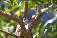Hummingbird on nest. Arizona-Sonora Desert Museum. Arizona