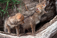 Two coyote pups outside of their den as one howls in communication.