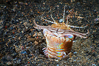 Bobbit worm: a fanged nightmare that lives in the sand (Eunice aphroditois). Lembeh Strait, Indonesia, echeng100304_0252965