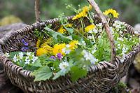 Frühlingskräuter ernten, Kräuterernte in einem Korb, Sammelkorb, Frühlingskräutersalat, Frühlings-Kräutersalat, Frühlingskräuter-Salat, Frühlingssalat, Salat aus Wildgemüse, Wildgemüsesalat, Wildgemüse-Salat, salad. Löwenzahn, Wiesen-Löwenzahn, Wiesenlöwenzahn, Gemeiner Löwenzahn, Gewöhnlicher Löwenzahn, Kuhblume, Taraxacum officinale, Taraxacum sect. Ruderalia, Dandelion, Dent de lion. Gewöhnliche Knoblauchsrauke, Knoblauchsrauke, Knoblauchrauke, Knoblauch-Rauke, Knoblauchs-Rauke, Lauchkraut, Knoblauchskraut, Knoblauchhederich, Knoblauchshederich, Alliaria petiolata, Hedge Garlic, Jack-by-the-Hedge, Garlic Mustard, garlic root, Alliaire, L'Alliaire officinale, Herbe à ail. Gewöhnlicher Gundermann, Gundermann, Efeublättriger Gundermann, Echt-Gundelrebe, Gundelrebe, Glechoma hederacea, Alehoof, Ground Ivy, ground-ivy, gill-over-the-ground, creeping charlie, tunhoof, catsfoot, field balm, run-away-robin, le Lierre terrestre, Le gléchome lierre terrestre, le lierre terrestre commun. Taubnessel, Lamium, Lamium spec., deadnettle. Bitteres Schaumkraut, Bitter-Schaumkraut, Falsche Brunnenkresse, Bitter-Schaumkraut, Bitterkresse, Wildkresse, Kressen-Schaumkraut, Cardamine amara, Large Bitter-cress, Large Bittercress