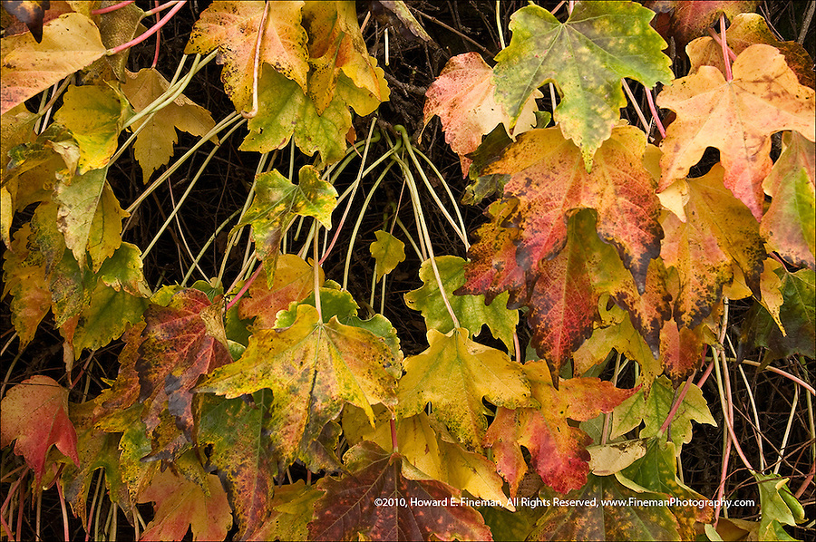 Beautifully colored ivy growth with approaching winter