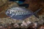 Atlantic butterfish swimming left