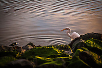 A Great egret has a bit of success while feeding along the rocky shore at San Leandro Marina Park on San Francisco Bay.