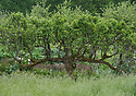 An old espalier-trained apple tree, Parham, mid May.