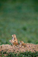 Young Black-tailed Prairie Dogs  (Cynomys ludovicianus) sitting on burrow mound.