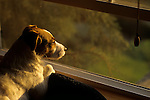 Jack Russell Terrier alertly laying on back of couch looking out the window at sunset Marysville Washington State USA