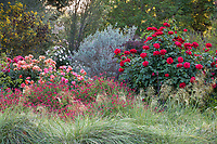 Stipa gigantea, bunch grass with Olypiad rose (right) Disneyland rose and Salvia x jamensis 'Scott's Red' flowering sage in University of California Davis Arboretum, Storer Garden drought tolerant mixed border
