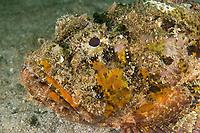 Spotted Scorpionfish, Scorpaena plumieri, St. Vincent, Caribbean, Atlantic