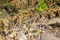 Klapperschlange im Kings Canyon im kalifornischen  Sequoia National Park.<br /> 8.6.2017, Sequoia National Park<br /> Copyright: Christian-Ditsch.de<br /> [Inhaltsveraendernde Manipulation des Fotos nur nach ausdruecklicher Genehmigung des Fotografen. Vereinbarungen ueber Abtretung von Persoenlichkeitsrechten/Model Release der abgebildeten Person/Personen liegen nicht vor. NO MODEL RELEASE! Nur fuer Redaktionelle Zwecke. Don't publish without copyright Christian-Ditsch.de, Veroeffentlichung nur mit Fotografennennung, sowie gegen Honorar, MwSt. und Beleg. Konto: I N G - D i B a, IBAN DE58500105175400192269, BIC INGDDEFFXXX, Kontakt: post@christian-ditsch.de<br /> Bei der Bearbeitung der Dateiinformationen darf die Urheberkennzeichnung in den EXIF- und  IPTC-Daten nicht entfernt werden, diese sind in digitalen Medien nach §95c UrhG rechtlich geschuetzt. Der Urhebervermerk wird gemaess §13 UrhG verlangt.]