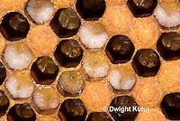 1B13-500z  Honeybee Hive, cell containing larvae, Apis Mellifera, Race Carniolans