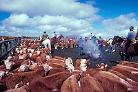 Cattle in the corral waiting to be branded, with cowboys in the background, Parker Ranch, Waimea (Kamuela)