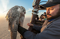 "United Arab Emirates (UAE). Dubai. Balloon Adventures Dubai. A Gyr Saker falcon on his trainer's hand during a hot air balloon tour flight above the desert of Dubai. The hawk is eating raw meat. The bird is carrying on his back a GPS antenna to track the animal in case it get lost flying away. The hourlong experience provides a look at the beauty of long stretches of desert and a raptor flying at high altitude (1000 meters). The Gyr-Saker falcon is a hybrid of the world's largest hawk, the Gyrfalcon and the second largest hawk, the Saker falcon. Falcons are birds of prey in the genus Falco, which includes about 40 species. Adult falcons have thin, tapered wings, which enable them to fly at high speed and change direction rapidly. Additionally, they have keen eyesight for detecting food at a distance or during flight, strong feet equipped with talons for grasping or killing prey, and powerful, curved beaks for tearing flesh. Falcons kill with their beaks, using a ""tooth"" on the side of their beaks. The United Arab Emirates (UAE) is a country in Western Asia at the northeast end of the Arabian Peninsula. 17.02.2020  © 2020 Didier Ruef"