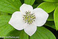 Cornus canadensis, bunchberry, native american wildflower