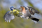 Blue tit and chaffinch in mid-air duel by Carl Bovis