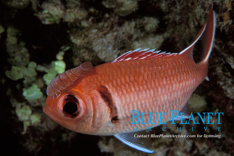 cymothoid isopod, Anilocra sp., attached to head of blackbar soldierfish, Myripristis jacobus relationship is commensal or parasitic Bahamas, Caribbean (Western Atlantic Ocean)
