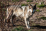 grey wolf female light grey color phase full body view facing right looking at camera