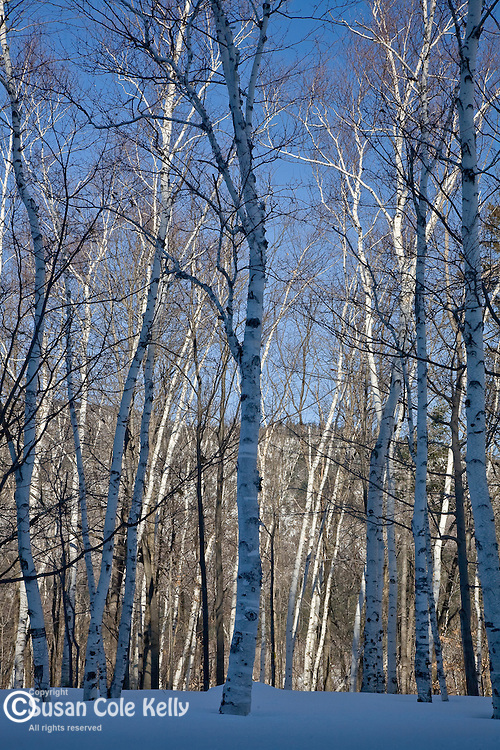 Snow-covered Shelburne Birches in the White Mountain National Forest, NH, USA