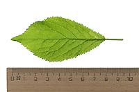 Pflaume, Zwetsche, Zwetschge, Kultur-Pflaume, Prunus domestica, Plum, Le prunier, prunier cultivé. Blatt, Blätter, leaf, leaves