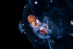 Nautilus or female blanket larval octopus inside a salp., Stolen emitting mucus web perhaps?