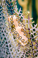 Flamingo Tongue cowrie (Cyphoma gibbosum), St. Kitts, Caribbean.