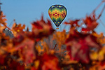 Hot Air Balloons sailing over the vineyards of Napa Valley, CA.