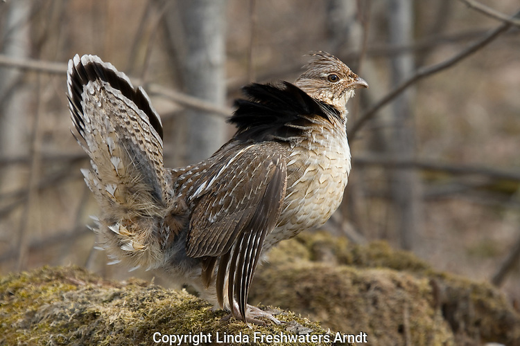 Ruffed grouse in courtship display