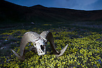 Argali (Ovis ammon) ram skull in meadow, Besh Moinok, Tien Shan Mountains, eastern Kyrgyzstan