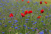 30-6-2021 Flowers in a field margin<br /> ©Tim Scrivener Photographer 07850 303986<br />      ....Covering Agriculture In The UK....